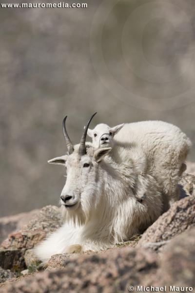 Baby Goats Climbing