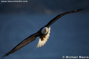 Locked On - Bald Eagle