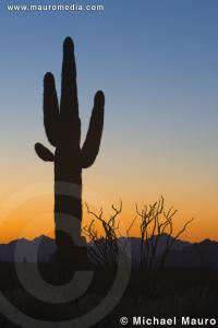 Day's End - Saguaro Cactus