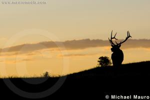 Colorado Sunrise - Elk