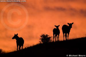 Elk at Sunrise