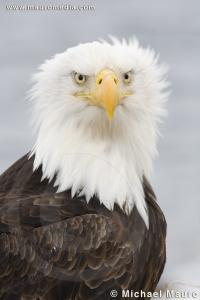 Wind Wash - Bald Eagle