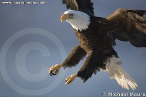 The Landing - Bald Eagle