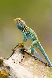 Hunting Perch - Collard Lizard