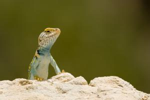 Collard Lizard - Puttin' On A Show