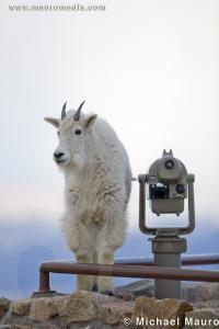 Alpine View - Mountain Goat
