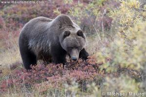 Grizzly - Denali National Park and Preserve, Alaska
