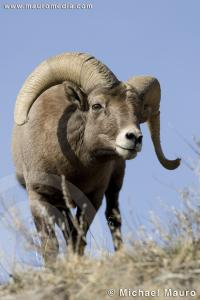Ridge Walker - Bighorn Sheep