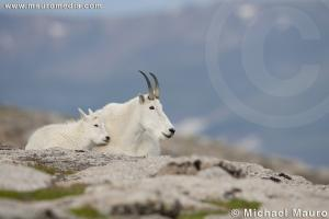 Distant Views - Mountain Goat