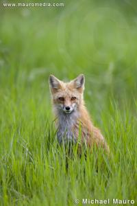 Summer Fox - Red Fox